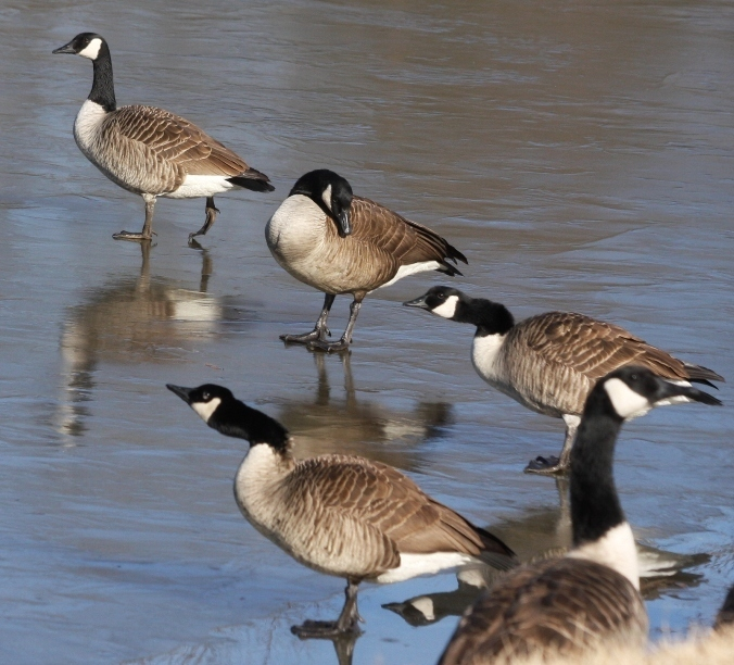how to catch an injured canadian geese