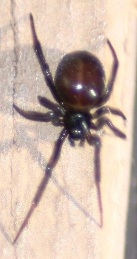 How Do You Get Rid Of Black Widow Spiders Naturally