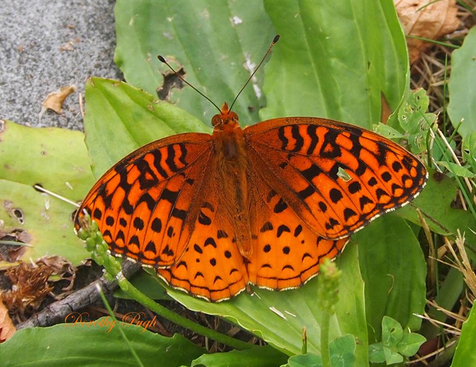 Question Mark Butterfly Butterflies ( superfam...