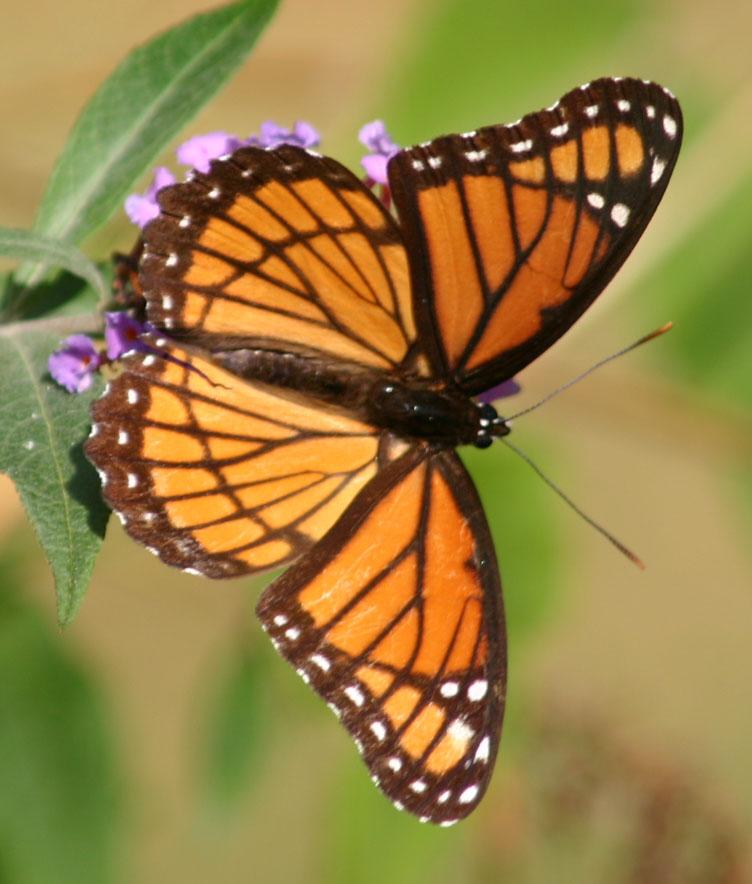 Butterfly Genus Species - Viceroy